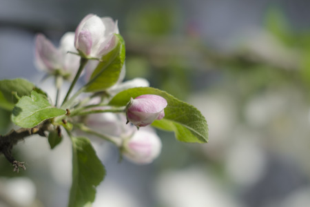 The buds of apple flowers have a pleasant pink hue.