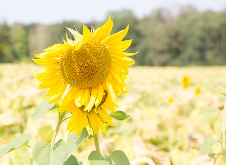 Two sunflowers on the autumn field.