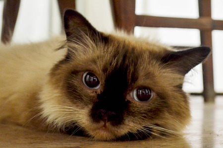 himalayan cat: A beautiful Himalayan Siamese cat looking lonely and lying on the clean floor