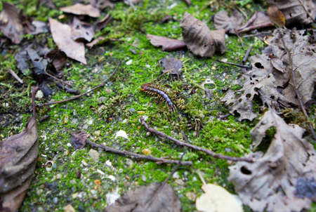 centipede on a background of moss and dried leaves
