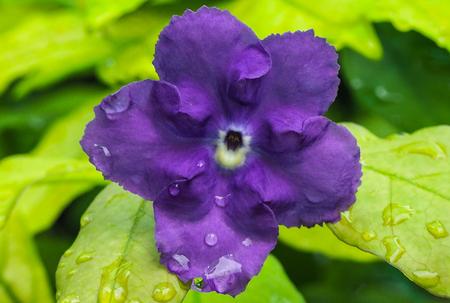 Rubiaceae Purple.