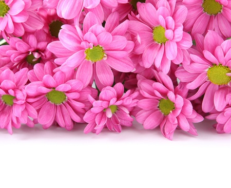 Pink chrysanthemums isolated on white background photo