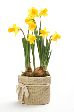 Narcissus in flowerpot isolated on a white background photo