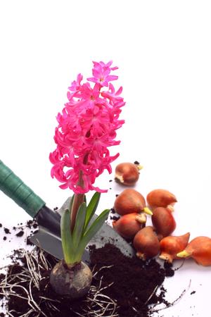 Hyacinth con bombillas de pala y de la flor sobre blanco