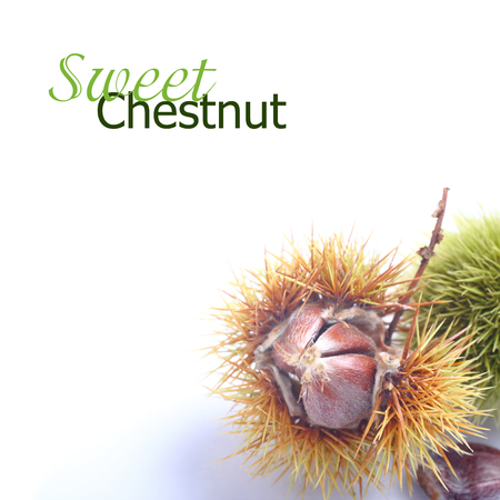 Shiny edible chestnuts with open husk over white with (with easy removable sample text) photo