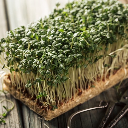 Garden cress, young plants on old wooden table. Lepidium sativum, edible herb. Microgreen. Peppery flavor and aroma. Also called mustard and cress, garden pepper cress, pepperwort or pepper grass.