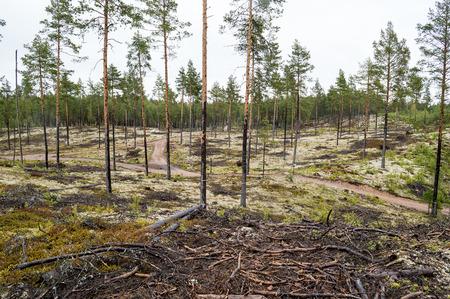 eiszeit: Kiefernwald auf Sandd�nen Eiszeit gepflanzt, um sie gegen das Verschieben zu stoppen. Flechten bedeckt feuchten Boden an Regen day.The Flechten Cladonia stellaris ist meist als wei�e Zeug auf dem Boden gesehen.