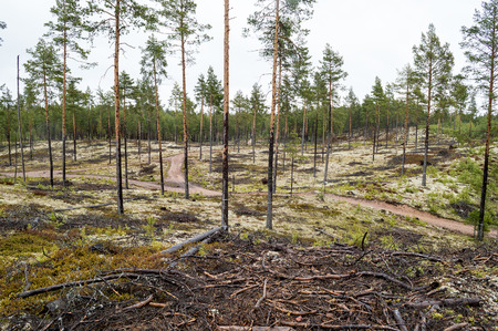 Pine forest planted on ice age sand dunes to stop them from moving. Lichen covered moist ground on rainy day.The lichen is mostly Cladonia stellaris seen as the white stuff on ground. photo