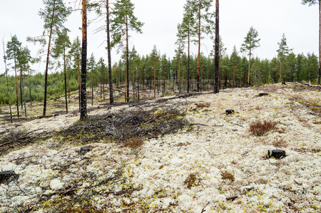 ice age: Pine forest planted on ice age sand dunes to stop them from moving. Lichen covered moist ground on rainy day.The lichen is mostly Cladonia stellaris seen as the white stuff on ground.