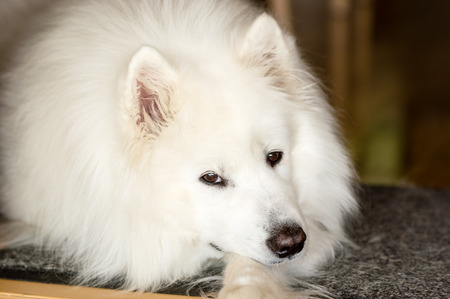 Calm Samoyed dog resting and looking at camera with fine dark brown eyes. photo