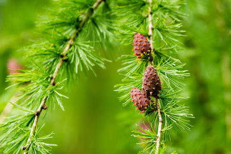 pinaceae: Larix decidua, European larch tree right after bloom. Bright green needle like leaves and brown cones. Stock Photo