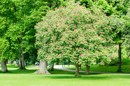 buckeye tree: The red Horse-chestnut tree in full bloom. Here in public park. Stock Photo