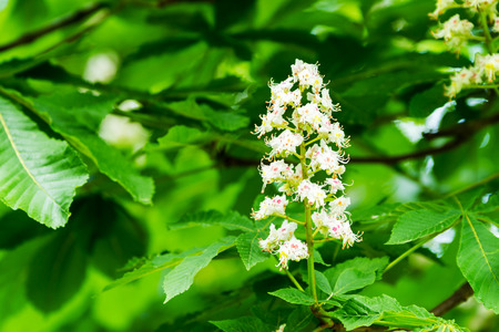 A Horse-chestnut flower surrounded by green leaves. photo