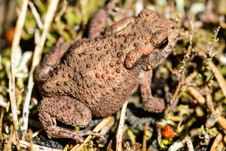 inconspicuous: Common toad, Bufo bufo, also known as European toad. Stock Photo