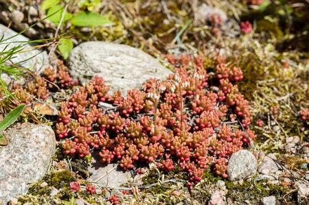 erect: White stonecrops, Sedum album, on rocky ground. Flower buds on erect stems.