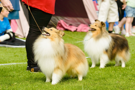 handlers: Two Shetland sheepdogs looking at handlers waiting for treats.
