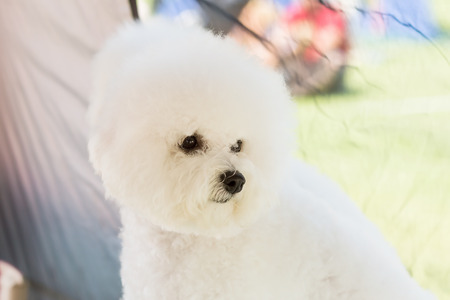 bichon: Bichon Frise looking away and out from dog tent. Stock Photo