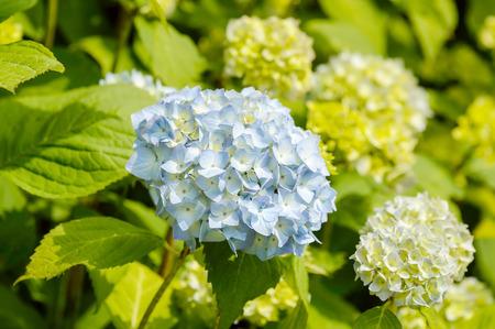bigleaf hydrangea: Light blue Hydrangea macrophylla. Also known as bigleaf hydrangea, French hydrangea, lacecap hydrangea, mophead hydrangea, penny mac and hortensia. Stock Photo