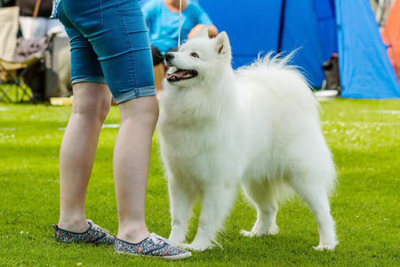 handlers: White samoyed dog standing by handlers legs on green grass. Stock Photo