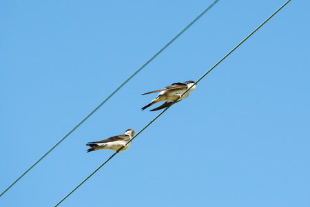 copulate: Two common house martin, Delichon urbicum, one female and one male in mating ritual.