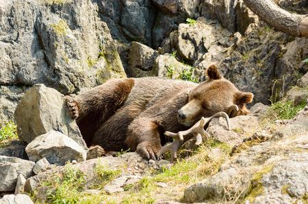 Ursus arctos, or the brown bear. Here resting on moose antlers in rocky terrain.