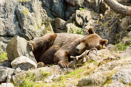 Ursus arctos, or the brown bear. Here resting on moose antlers in rocky terrain.