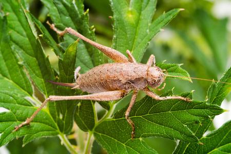 Female dark bush-cricket (Pholidoptera griseoaptera), here sitting on blackberry bush leaves. photo