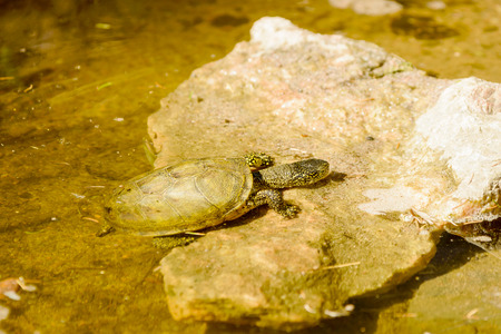 emys: European pond turtle, Emys orbicularis, here seen in water climbing up a stone. Stock Photo