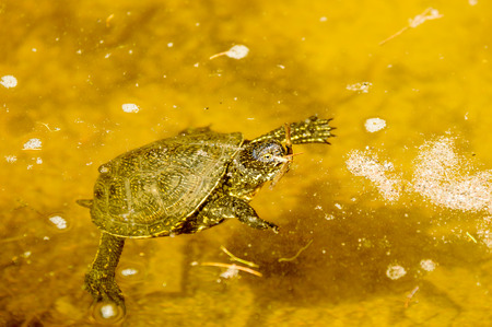 emys: European pond turtle, Emys orbicularis, here seen in water. Stock Photo