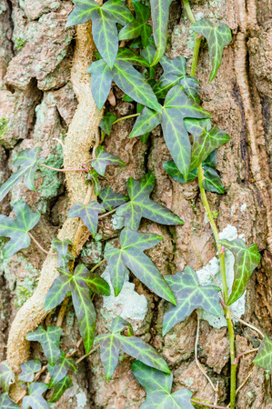 crack climbing: Ivy, Hedera helix or European ivy climbing on rough bark of a tree. Stock Photo