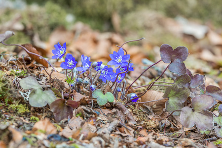 hepatica: Anemone hepatica, common hepatica, liverwort, kidneywort or pennywort sometimes Hepatica nobilis. Here the full plant is seen with its lovely blue flowers on forest floor in early spring. Stock Photo