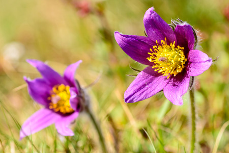 pasque: Pasque flower (Pulsatilla vulgaris). Also known as  pasqueflower, common pasque flower or Danes blood. Here seen close up in sunshine on grassland. Wild specimens.