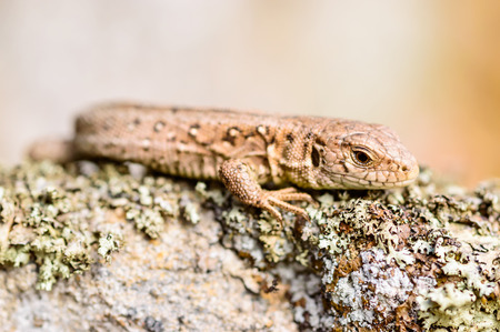 lacerta: Sand lizard (Lacerta agilis). Wild specimen found on lichen covered rocks warming up in the sun and looking for insects to eat.