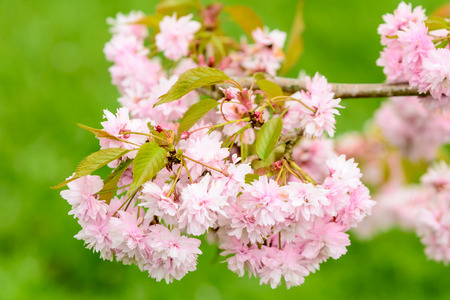 Prunus or cherry blossom in full bloom. Here seen with fresh green leaves in early spring. Green . photo
