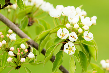 pyrus: Lovely white flowers of European or common pear (Pyrus communis). Here seen with fine green . Stock Photo