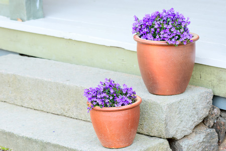 flower pot: Small purple flowers planted in brown ceramic pots on stone stairs. These are some sort of bellflower (Campanula). Copy space to the left.