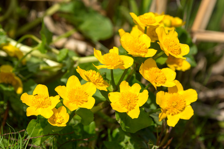 palustris: Marsh-marigold or kingcup (Caltha palustris). Here seen close up with a small black syrphid fly on the left most flower. Lovely bright yellow against green natural background.