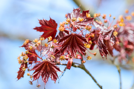 acer palmatum: Acer palmatum, Japanese maple or smooth Japanese maple. Here seen blooming and with fresh red leaves in the spring against a blue sky.