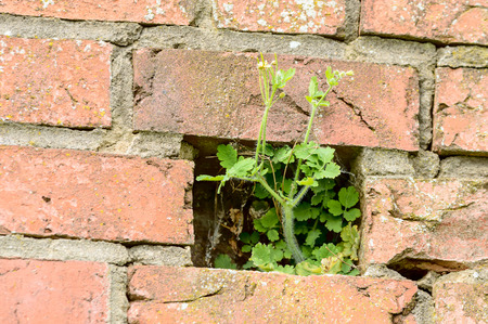 to thrive: A green flowering plant has started to grow inside a brick wall where one brick is missing.