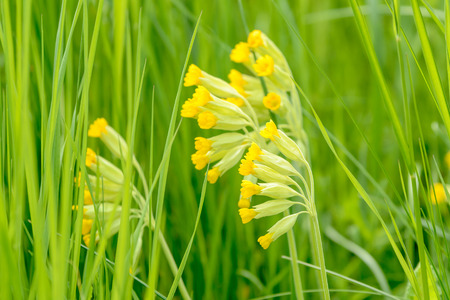 primula veris: Cowslip (Primula veris). Here seen close up surrounded by green grass on meadow. Shallow depth of field, focus on front flower, low angle.