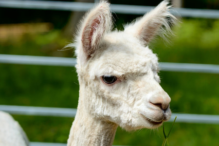 alpaca animal: Alpaca (Vicugna pacos). Here seen as portrait. The animal is shorn and is eating grass. Stock Photo