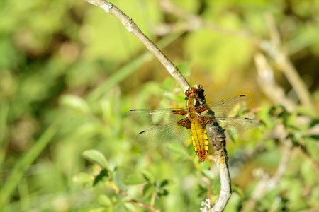 libellula: Libellula depressa, also known as the broad-bodied chaser or broad-bodied darter. Heres seen sitting on a dry twig. Green vegetation in background.
