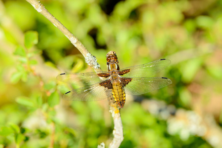 Libellula depressa, also known as the broad-bodied chaser or broad-bodied darter. Heres seen sitting on a dry twig. Green vegetation in background. photo