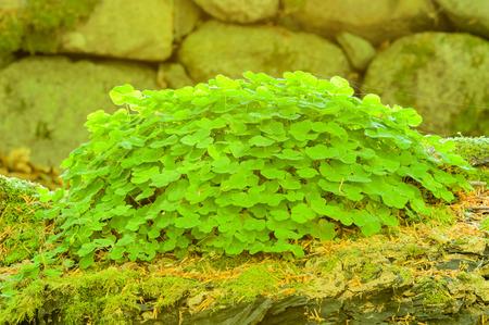 acetosella: Alaz�n de madera (Oxalis acetosella). Aqu� se ve en registro de la enfermera de musgo con muro de piedra en el fondo.