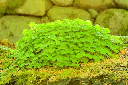 wood sorrel: Wood sorrel (Oxalis acetosella). Here seen on mossy nurse log with stone wall in background. Stock Photo