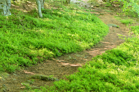 soil: Narrow path in woodland. Green bilberry (Vaccinium myrtillus) shrubs on either side of lane.