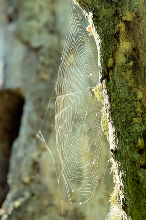 entrap: Cobweb between two tree trunks in the foeras. Sunlight is the only catch so far. No spider seen. Stock Photo