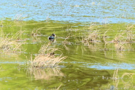 coot: Adult male Eurasian coot (Fulica atra), here seen eating in the fresh water it uses as breeding habitat. Stock Photo