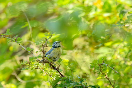 tree canopy: Young Blue tit looking for insects in tree canopy.
