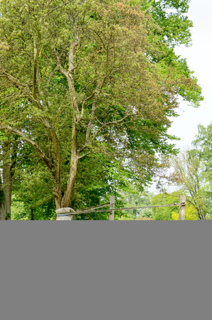 girdle: A fully grown tree is planted in the park and has support from timber and belts to stay straight until strong enough to stand alone.